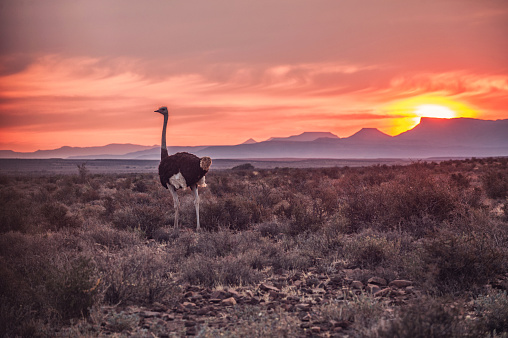 South Africa「Male Ostrich at Sunset」:スマホ壁紙(11)