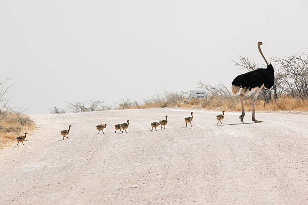 Male Ostrich leading chicks over road:スマホ壁紙(壁紙.com)