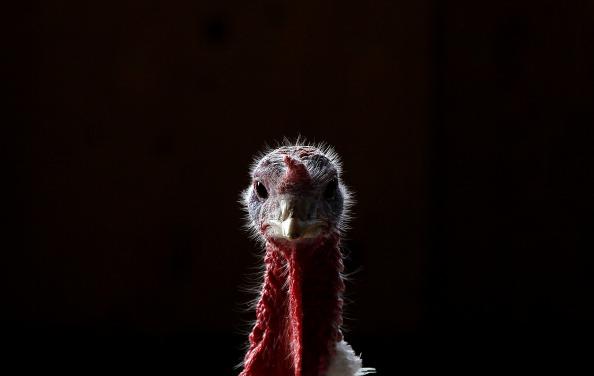Turkey - Bird「Turkeys Roam On California Farm Ahead Of The Holiday Season」:写真・画像(7)[壁紙.com]