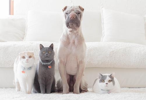 Loyalty「Shar pei dog, british shorthair and scottish fold cats sitting in a row」:スマホ壁紙(1)