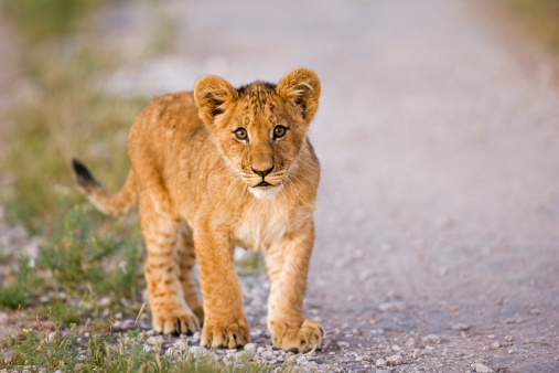 Walking「Africa, Botswana, Lion cub (Patnera leo), close-up」:スマホ壁紙(18)