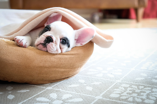 Looking At Camera「Cute 8 weeks old Pied French Bulldog Puppy resting in her bed」:スマホ壁紙(3)