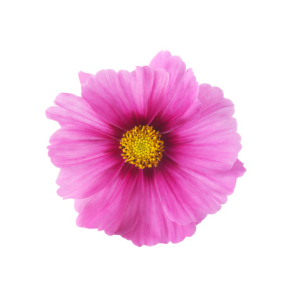Girly「Single pink cosmos flower in close-up」:スマホ壁紙(8)