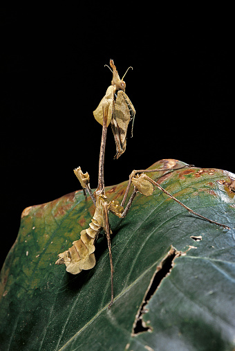Violin「Gongylus gongylodes (wandering violin mantis)」:スマホ壁紙(14)