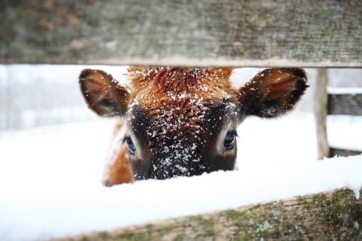Females「Cow in snow」:スマホ壁紙(8)