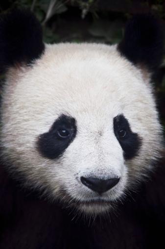 Animal Head「Panda (Ailuropoda Melanoleuca)」:スマホ壁紙(3)