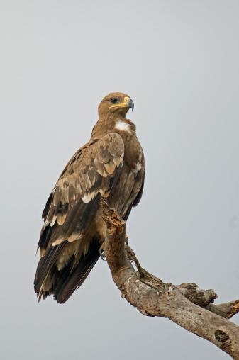 ケニア山「Steppe eagle (Aquila nipalensis orientalis), Mount Kenya, Kenya, January」:スマホ壁紙(8)