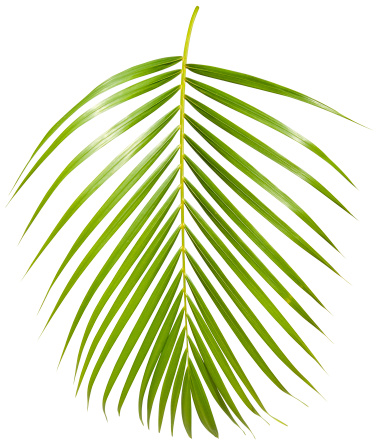Branch - Plant Part「Tropical green palm leaf isolated on white with clipping path」:スマホ壁紙(5)