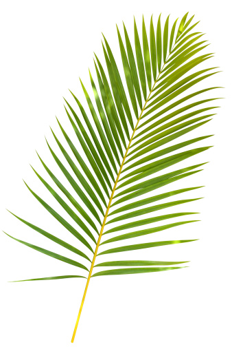 Hawaiian Culture「Tropical green palm leaf isolated on white with clipping path」:スマホ壁紙(19)