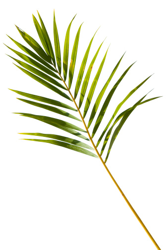 Botany「Tropical green palm leaf isolated on white with clipping path」:スマホ壁紙(12)