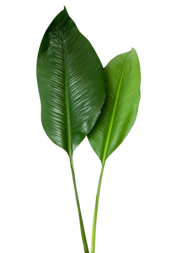Hawaiian Culture「Tropical green leaf isolated on white with clipping path」:スマホ壁紙(3)