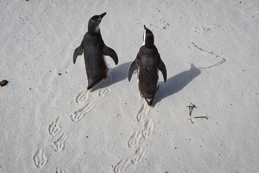 Walking「Overhead view of two African Penguins at Boulders Beach, Western Cape, South Africa」:スマホ壁紙(6)