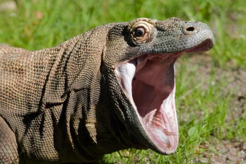 Animal Mouth「Komodo dragon with open mouth」:スマホ壁紙(15)