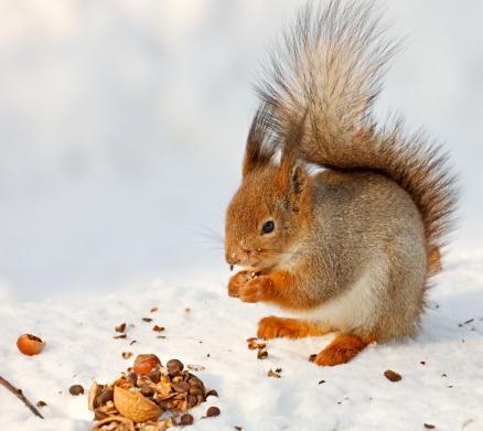 Squirrel「Red Squirrel on snow」:スマホ壁紙(0)
