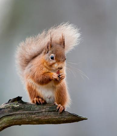 Mammal「Red Squirrel on a Branch」:スマホ壁紙(16)