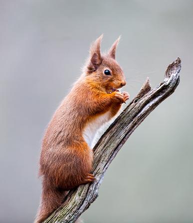 Squirrel「Red Squirrel on a Branch」:スマホ壁紙(9)
