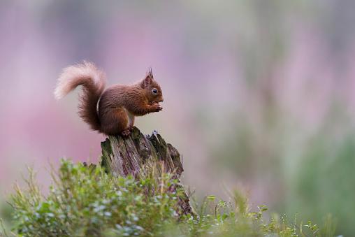 Squirrel「Red squirrel on dead wood」:スマホ壁紙(14)