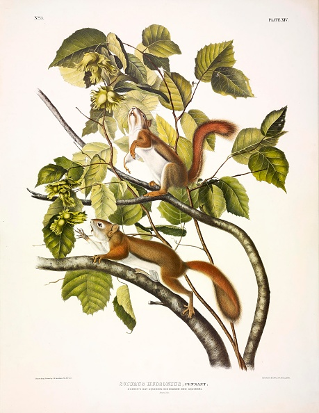 Illustration Technique「Red Squirrel」:写真・画像(14)[壁紙.com]