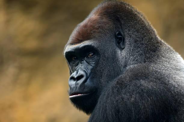 gorilla portrait:スマホ壁紙(壁紙.com)