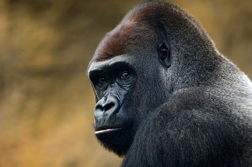 Animal Head「gorilla portrait」:スマホ壁紙(6)