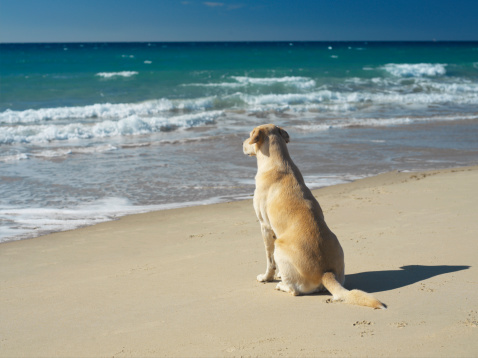 Contemplation「Yellow labrador sitting on beach, rear view」:スマホ壁紙(14)