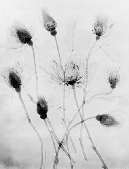 Botany「X-Ray Eight Roses」:写真・画像(11)[壁紙.com]