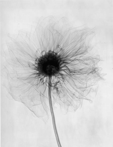 Botany「X-Ray Dahlia」:写真・画像(9)[壁紙.com]