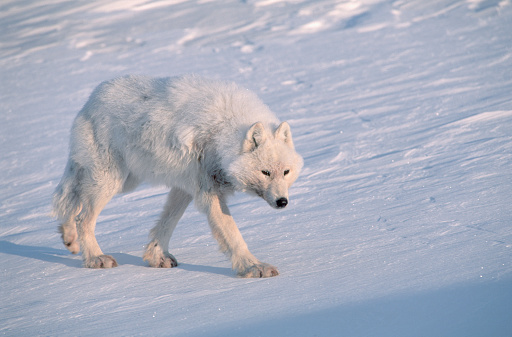 Nunavut「Arctic Gray Wolf Walking on Snow」:スマホ壁紙(16)