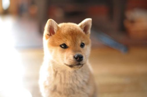 Puppy「Shiba Inu puppy」:スマホ壁紙(12)