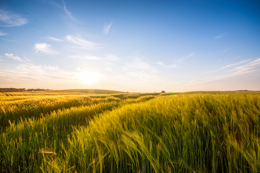 Barley「United Kingdom, Scotland, East Lothian, field of barley, Hordeum vulgare」:スマホ壁紙(14)