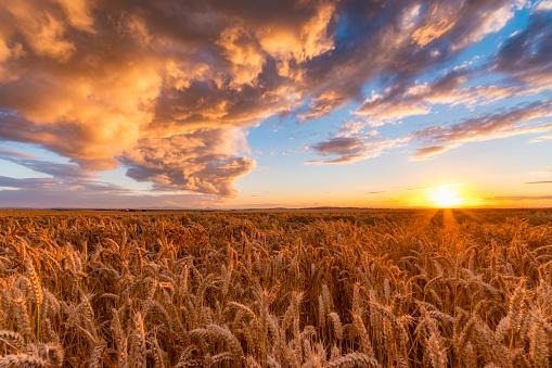 Agricultural Field「United Kingdom, East Lothian, wheat field at sunset」:スマホ壁紙(3)