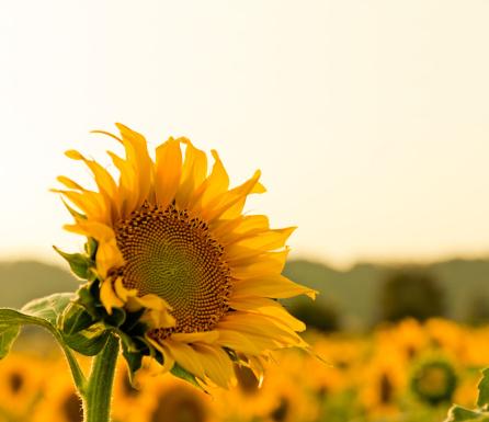 Planting「vivid sunflower portrait」:スマホ壁紙(2)