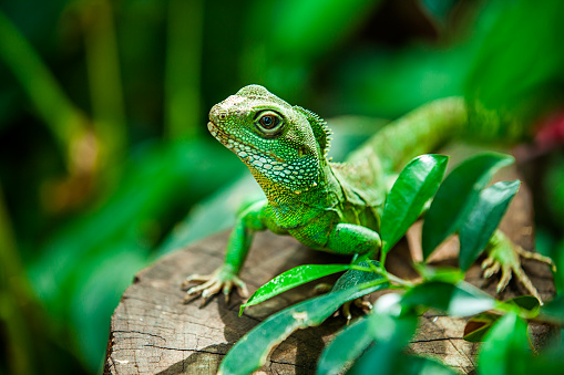 Reptile「Chinese water dragon」:スマホ壁紙(10)