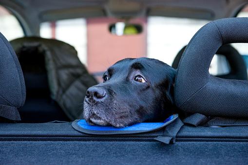 Sideways Glance「Labrador dog sitting in car」:スマホ壁紙(12)