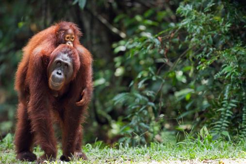 Care「Bornean Orangutan female carrying her daughter」:スマホ壁紙(13)