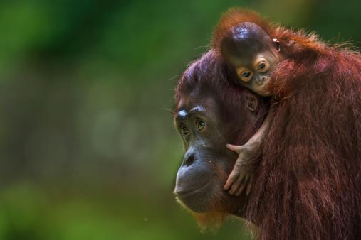 Animal Family「Bornean Orangutan mother with baby」:スマホ壁紙(4)