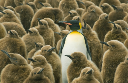 Standing Out From The Crowd「King Penguin with chicks」:スマホ壁紙(12)