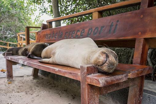 Sea Lion「A tired sea lion sleeping on a bench at Puerto Villamil on Isabela Island, Galapagos」:スマホ壁紙(0)