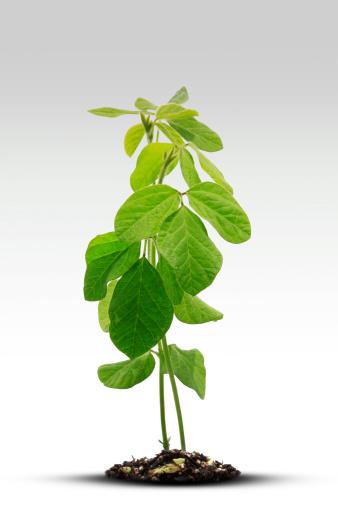 Planting「Soybean Sprout」:スマホ壁紙(2)