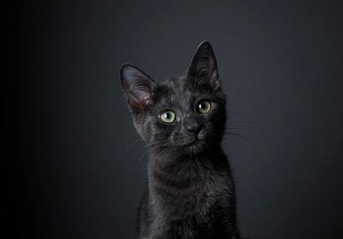 Gray Background「Stunning Black Kitten - The Amanda Collection」:スマホ壁紙(18)