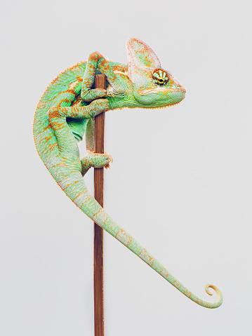 Reptile「Cute chameleon climbing on white background」:スマホ壁紙(7)
