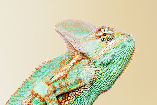 Making A Face「Cute chameleon profile portrait looking at camera」:スマホ壁紙(2)
