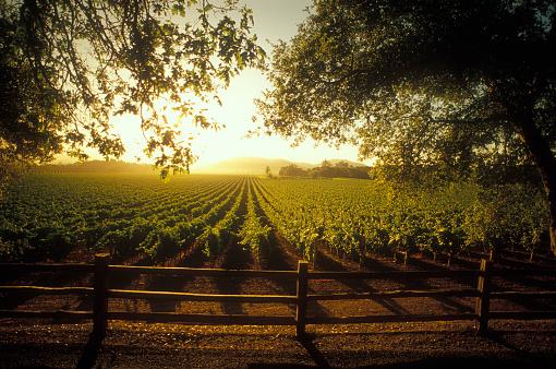 1990-1999「Vineyard sunrise in Napa Valley」:スマホ壁紙(9)