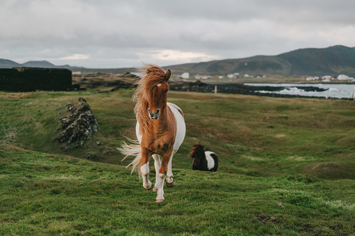 Horse「Brown Icelandic horse  on the meadow」:スマホ壁紙(12)