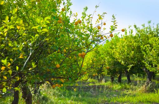 Sicily「Grove of lemon trees ready for harvest」:スマホ壁紙(4)