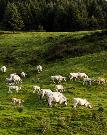 Females「France, Pyrenees, Northern Catalonia, Col du Port, cow pasture」:スマホ壁紙(18)