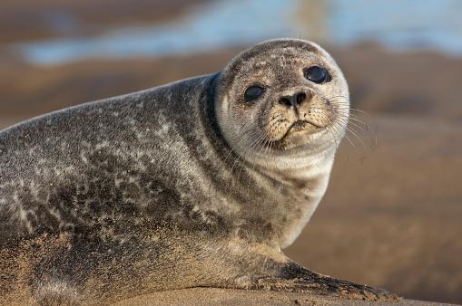 Sea Lion「Sea Lion (Otariidae); Holy Island Northumberland England」:スマホ壁紙(11)
