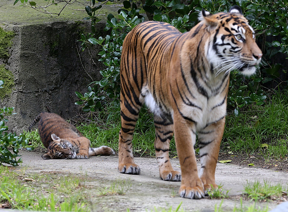 Tiger「Two-Month Old Sumatran Tiger Cub Meets Public For First Time At SF Zoo」:写真・画像(8)[壁紙.com]