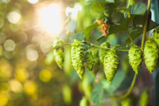 Tasting「Fresh Ripe Summer Grown Hops for Beer Home Brewing」:スマホ壁紙(1)