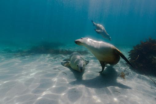 Sea Lion「Three sea lions swimming underwater, Hopkins Island, Port Lincoln, Australia」:スマホ壁紙(19)